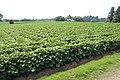 Sweet potato field in Namegata, Ibaraki 05.jpg
