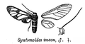 SyntomoidesImaon.png