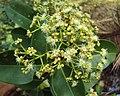 Syzygium caryophyllatum 34.JPG