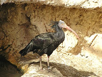 Souss-Massa National Park - Northern bald ibis