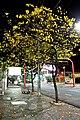 Tabebuia alba - panoramio.jpg
