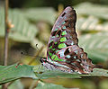 Tailed Jay (Graphium agamemnon) at Samsing, Duars, West Bengal W IMG 6328.jpg