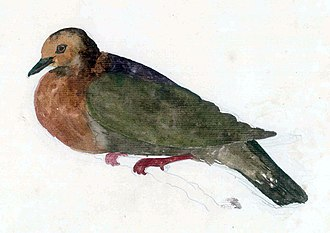 Georg Forster - One of Forster's many illustrations of birds now extinct, the Tanna ground dove, also known as Forster's dove of Tanna
