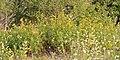 Tansy (Tanacetum vulgare) - Guelph, Ontario.jpg