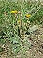 Taraxacum serotinum sl94.jpg