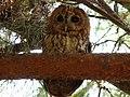Tawny Owl (5333967519).jpg