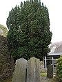 Taxus baccata 'Fastigiata' 2672208744.jpg