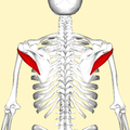 Teres minor muscle back4.png