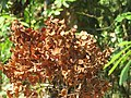 Terminalia paniculata fruits at Kottiyoor Wildlife Sanctuary (1).jpg