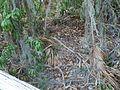 Terra Ceia FL Madira Bickel SP mound top03.jpg