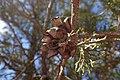 Tetraclinis articulata kz33 Morocco.jpg