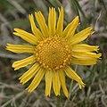 Tetraneuris brandegeei flora1.jpg