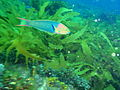 Thalassoma lutescens Green moon wrasse PC068973.JPG