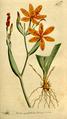 The Botanical Magazine, Plate 171 (Volume 5, 1792).png