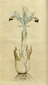 The Botanical Magazine, Plate 1 (Volume 1, 1787).png
