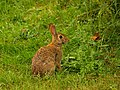 The Lucky Rabbit (7523712564).jpg