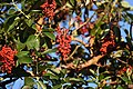 The Pacific Madrone tree's berries, where we looked and looked for Varied Thrush (30682895617).jpg