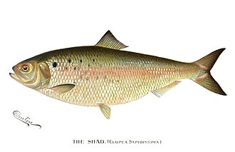 Petitcodiac River - A shad. The American shad is one of the four fish species that have disappeared from the river since 1968.