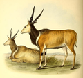 The book of antelopes (1894) Taurotragus derbianus.png
