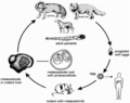 The life cycle of Echinococcus multilocularis.png