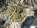 Thelocactus leucacanthus v. schmollii (5780743274).jpg