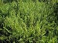 Thelypteris palustris.jpg