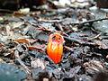 Thismia rodwayi (Fairy lantern) 2.JPG