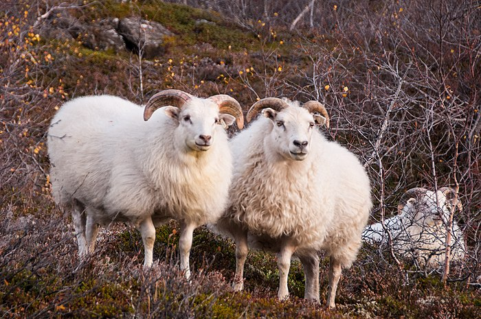 Three Icelandic sheep between shrubs.jpg