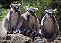 Three Wise Lemurs (18174715061).jpg