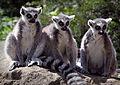 Three Wise Lemurs (18174715061).jpg