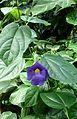 Thunbergia battiscombei kz2.jpg