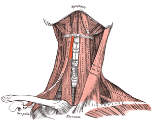 Thyrohyoid muscle - Muscles of the neck. Anterior view. (Thyrohyoideus visible center-left.)