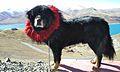 Tibetan mastiff.jpg
