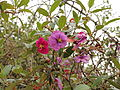 Tibouchina lepidota-IMG 8732.JPG