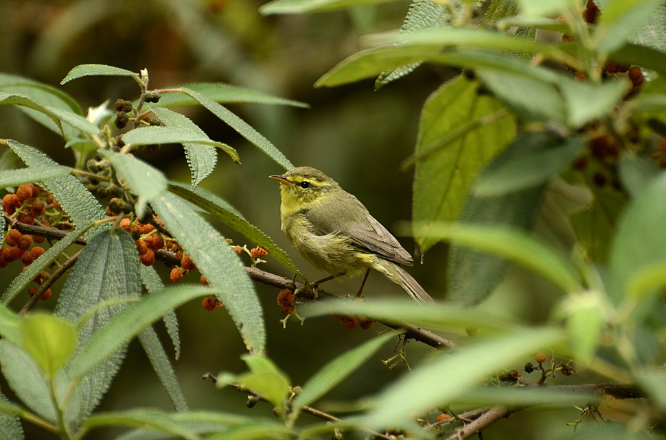Tickell's Leaf Warbler Phylloscopus affinis from the Anaimalai hills JEG2540 a