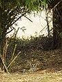 Tiger taking rest.jpg