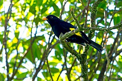 Tijuca atra Black-and-gold Cotinga.jpg