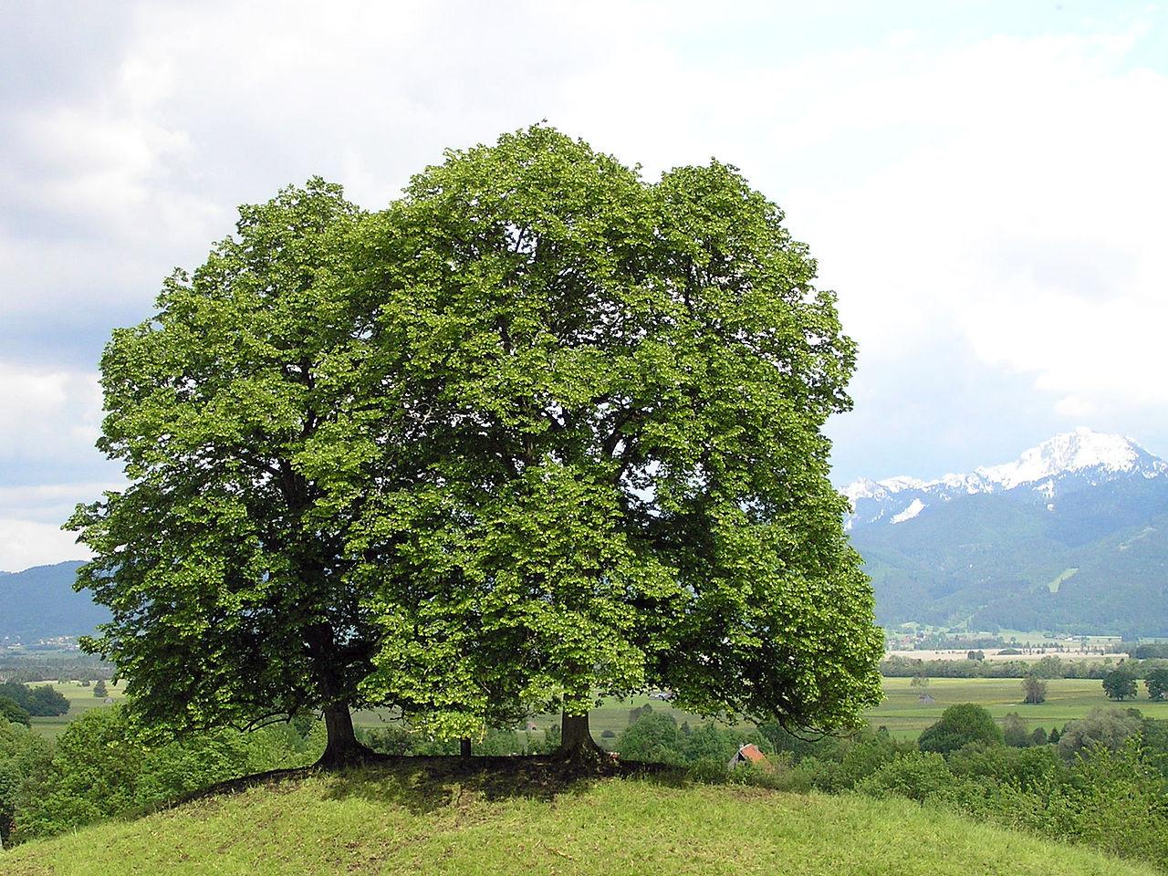 File tilia cordata wikimedia commons for Arbre de jardin a croissance rapide