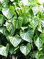 Tinospora cordifolia or Giloy !.jpg
