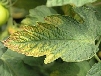Potassium deficiency (plants) - Image: Tomate Blatt Kalimangel