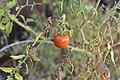 Tomatoes on the vine 1 2017-11-21.jpg