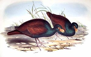 Tooth-billed pigeon - Illustration by John Gould (probably from stuffed specimens)