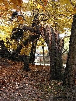 pin arbre