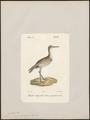 Totanus semipalmatus - 1842-1848 - Print - Iconographia Zoologica - Special Collections University of Amsterdam - UBA01 IZ17400133.tif