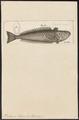 Trachinus draco - 1700-1880 - Print - Iconographia Zoologica - Special Collections University of Amsterdam - UBA01 IZ13200039.tif