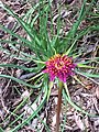 Tragopogon porrifolius DehesaBoyalPuerto Flor15 5 16.jpg