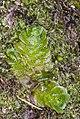 Treubia lacunosa (Colenso) Prosk. (AM AK322391-2).jpg