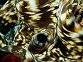 Tridacna squamosa (Giant clam).jpg
