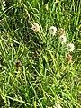 Trifolium montanum01.jpg