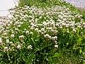 Trifolium repens (5155176278).jpg